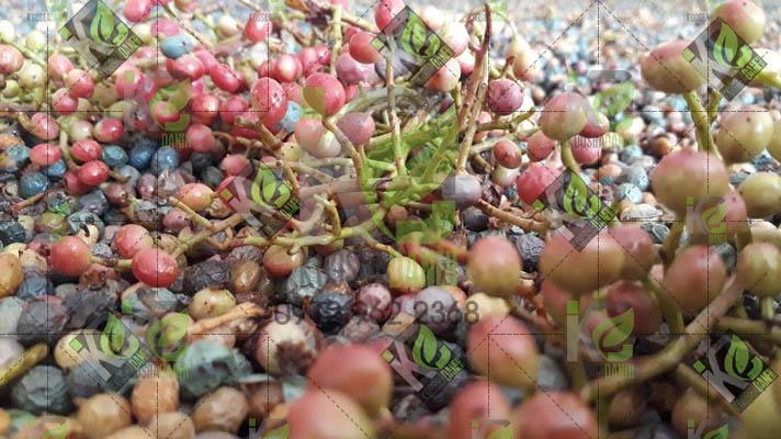 قیمت پسته کوهی سبز خشک در سال ۹۹برای تولید مغزبنه